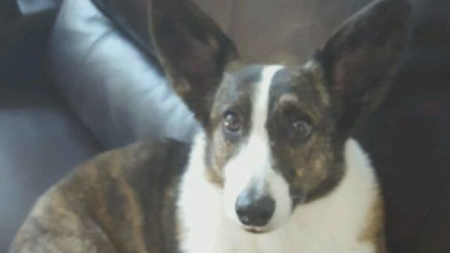 Williamson County family hires pet detective to find lost dog